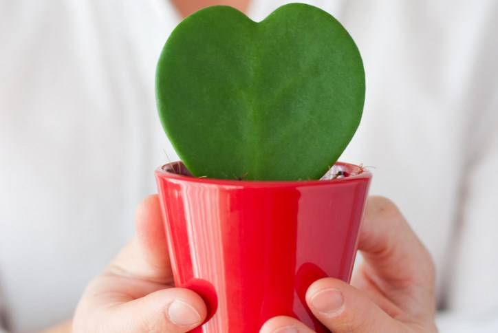 Heart Shaped Cactus 724x484.png